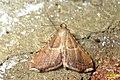 Endotricha flammealis (rp) (30578356626).jpg