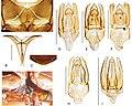 Ephydrolithus (10.3897-zookeys.855.33013) Figure 7.jpg
