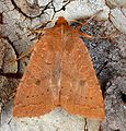 Epiglaea decliva - Sloping Sallow Moth (10917106234).jpg