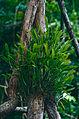 Epiphytic Orchids (Orchidaceae) (14242945292).jpg