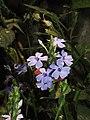 Eranthemum roseum Raan Aboli by Raju Kasambe DSCN3680 (10).jpg