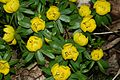 Eranthis hyemalis (Winter Aconite) - Flickr - S. Rae.jpg