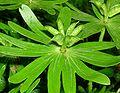 Eranthis hyemalis capsules kz.jpg