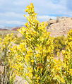 Ericameria paniculata 4.jpg