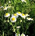 Erigeron annuus subsp. annuus ENBLA01.jpg
