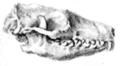 Erinaceidae skull.png