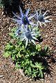 Eryngium amethystinum 'Sapphire Blue' kz1.jpg