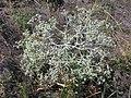 Eryngium campestre (habitus).jpg