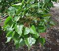 Erythrina caffra kz9.JPG
