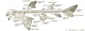 Esqueleto de tubarão.png
