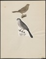 Estrilda astrild - 1700-1880 - Print - Iconographia Zoologica - Special Collections University of Amsterdam - UBA01 IZ15900119.tif