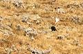 Ethiopian Highland Hare (Lepus starcki) fleeing.jpg