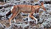 Ethiopian wolf.JPG