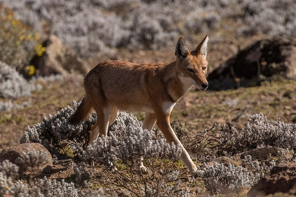 The average adult weight of a Ethiopian wolf is 14.38 kg (31.7 lbs)