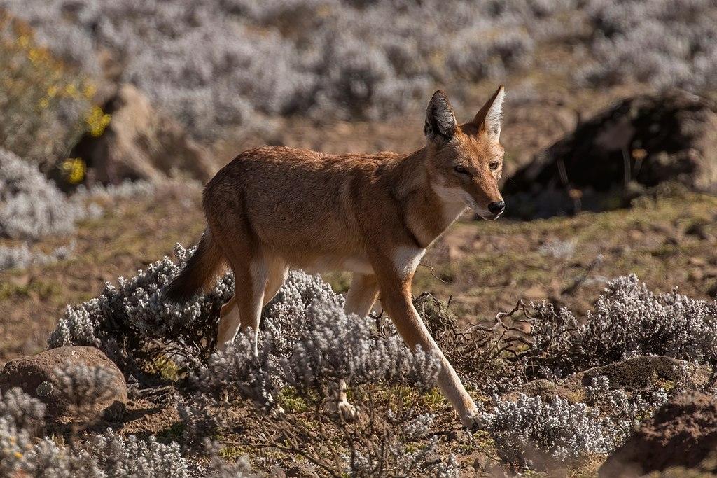 Ethiopian wolf (Canis simensis citernii).jpg