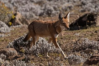Ethiopian wolf canid native to Ethiopian Highlands