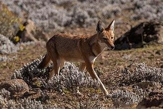 Ethiopian wolf - Southern Ethiopian wolf (C. s. citernii), Sanetti Plateau