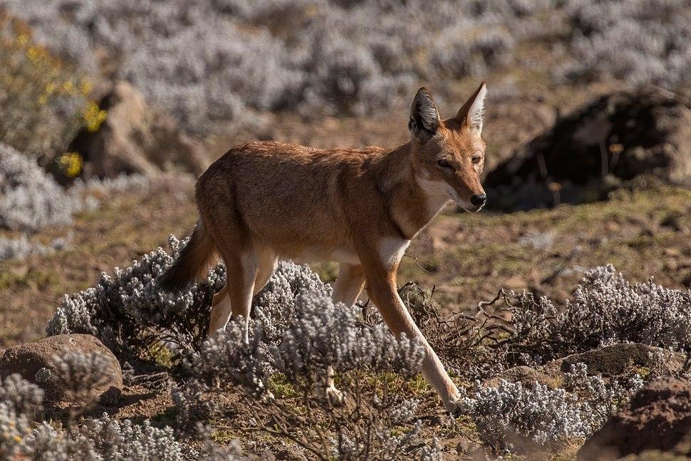Ethiopian wolf (Canis simensis citernii)