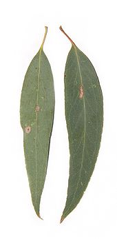Eucalyptus radiata (Narrow-leaved peppermint).jpg