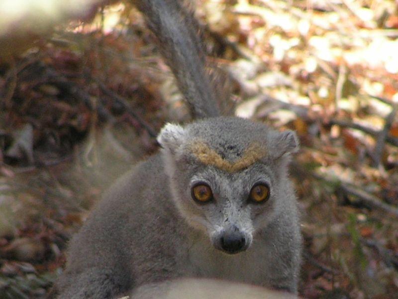 Fichier:Eulemur coronatus female (Frank Wouters).jpg
