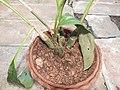 Eulophia pulchra-3-bsi-yercaud-salem-India.jpg