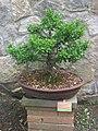 Euonymus japonicus-Bonsai.jpg