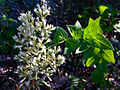 Eupatorium rotundifolium - Roundleaved thoroughwort.jpg