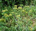 Euphorbia cyparissias5 ies.jpg