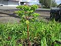 Euphorbia peplus plant1 (15223159766).jpg
