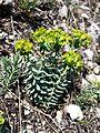 Euphorbia seguieriana sl5.jpg