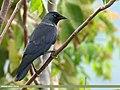 Eurasian Jackdaw (Corvus monedula) (43802282592).jpg