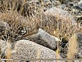 Eurasian Skylark (Alauda arvensis) (30980246853).jpg