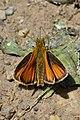 European Skipper (Thymelicus lineola) - Guelph, Ontario 02.jpg