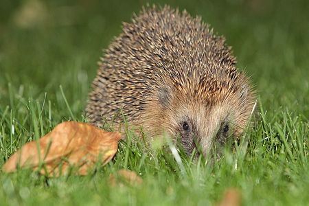 European hedgehog(js)04.jpg