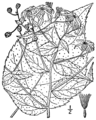 Eurybia macrophylla BB-1913-4.png