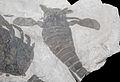 Eurypterus (7992661967).jpg