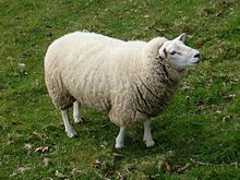Ewe in Ickworth Park.jpg