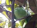 Exotic Fruit Plants India 4z .jpg