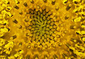 Extreme close-up of sunflower head.jpg