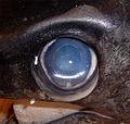 Eye xiphias gladius.jpg