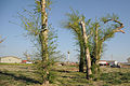 FEMA - 35045 - KS 1699 tree 02.jpg