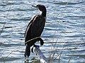 FL Cormorant (5303593861).jpg
