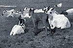 FMIB 35075 Reindeer Fawns (cropped).jpeg