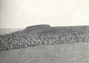Chincha Islands - Cormorants at Chincha Sur in 1910.