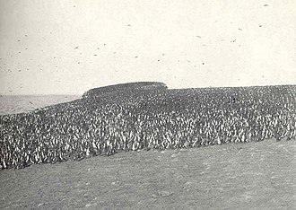 Chincha Islands - Cormorants at Chincha Sur in 1910.