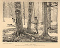 FMIB 43136 Tapping a Hard Maple - Maple grove near Norwich, Chenango Co, N Y Property of Mr Seth Chapin.jpeg