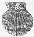 FMIB 48812 Pecten pallium L, East Indies.jpeg