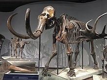 FMNH Woolly Mammoth.jpg