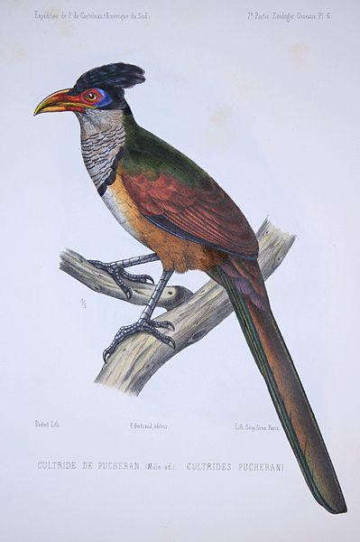 File:F de Castelnau-oiseauxPl6.jpg