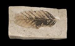 Fagus sylvatica pliocenica MHNT.PAL.VEG.2002.31.jpg